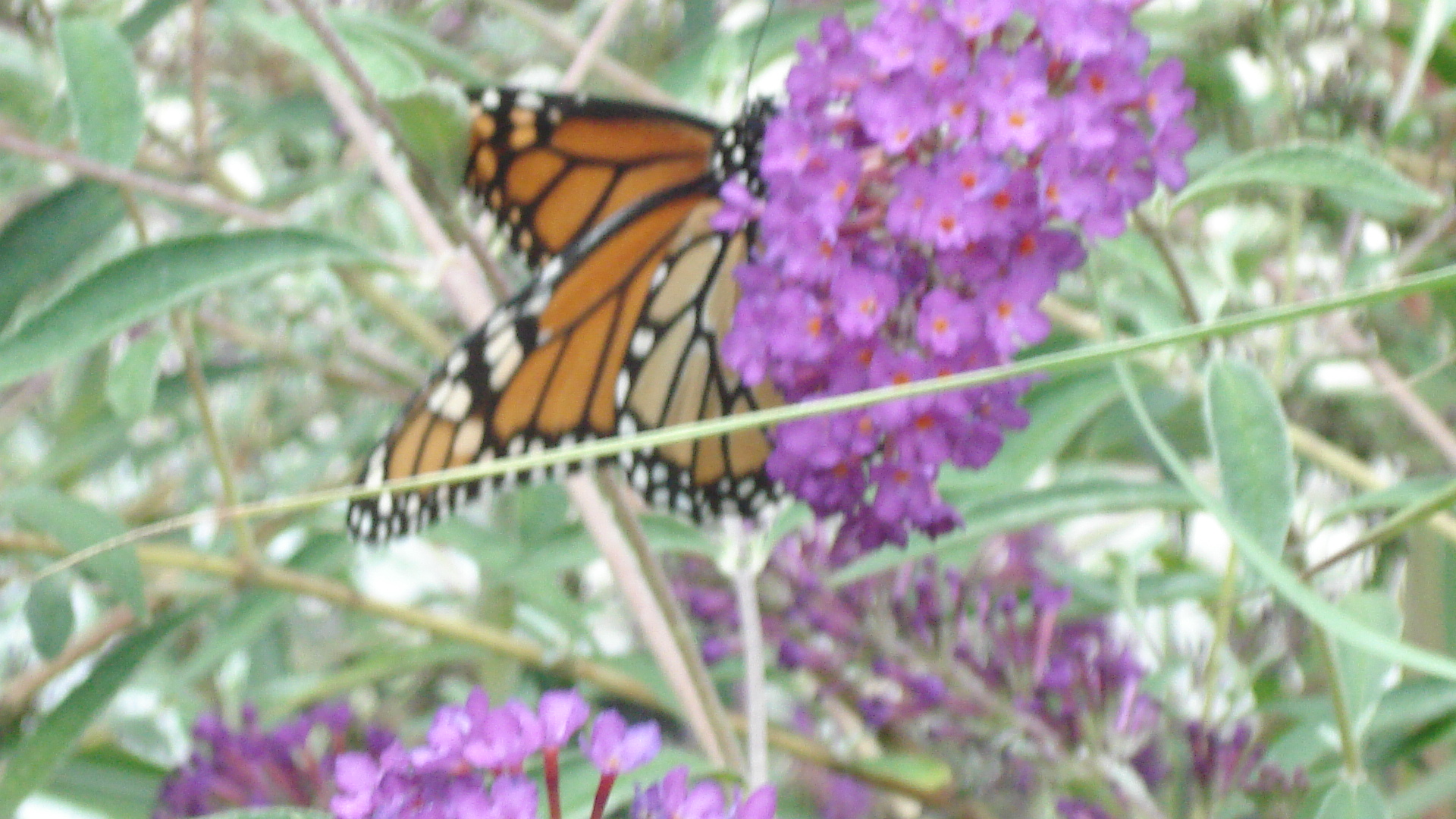 A Butterfly Rests on the Butterfly Bush